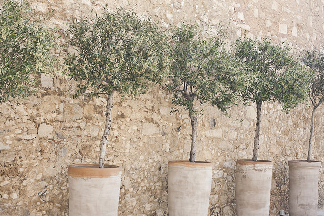 How to grow an olive tree in a container