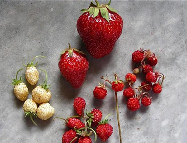 Domestic Strawberries and Wild Strawberries