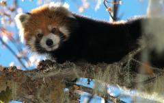 Red panda in Meili Snow Mountain National Park