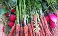 home grown carrots and radishes