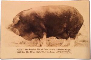 Big Jim- the Largest Hog in the World