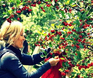 Cherry-Picking-in-Griffith-and-Hillston