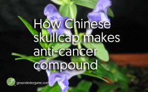 How Chinese skullcap makes anti-cancer compound