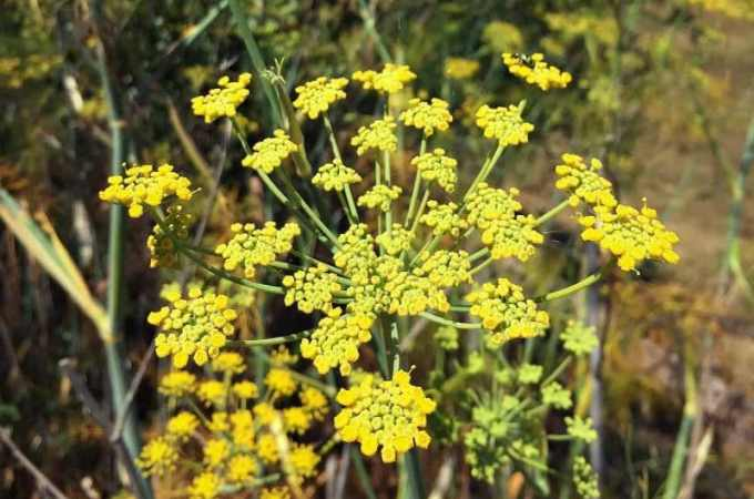 wild fennel flower