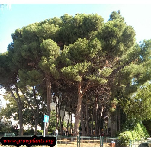 Medium Crop Of Italian Stone Pine
