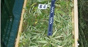 plantaza-marihuane-metkovic2