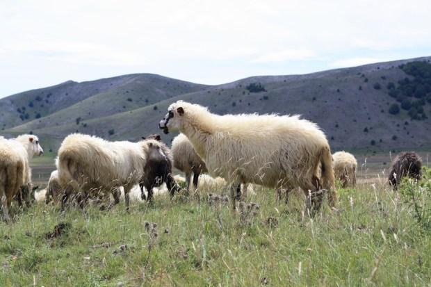 01102016-stado-ovce-blidinje2