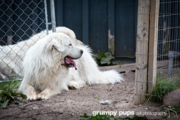 great pyrenees at fence gate, grumpy pups pet photography