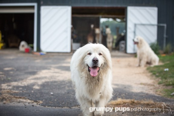 great pyrenees walking in front of alpaca herd, grumpy pups pet photography