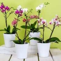 Un trucco semplice ed efficace per annaffiare le orchidee nel migliore dei modi