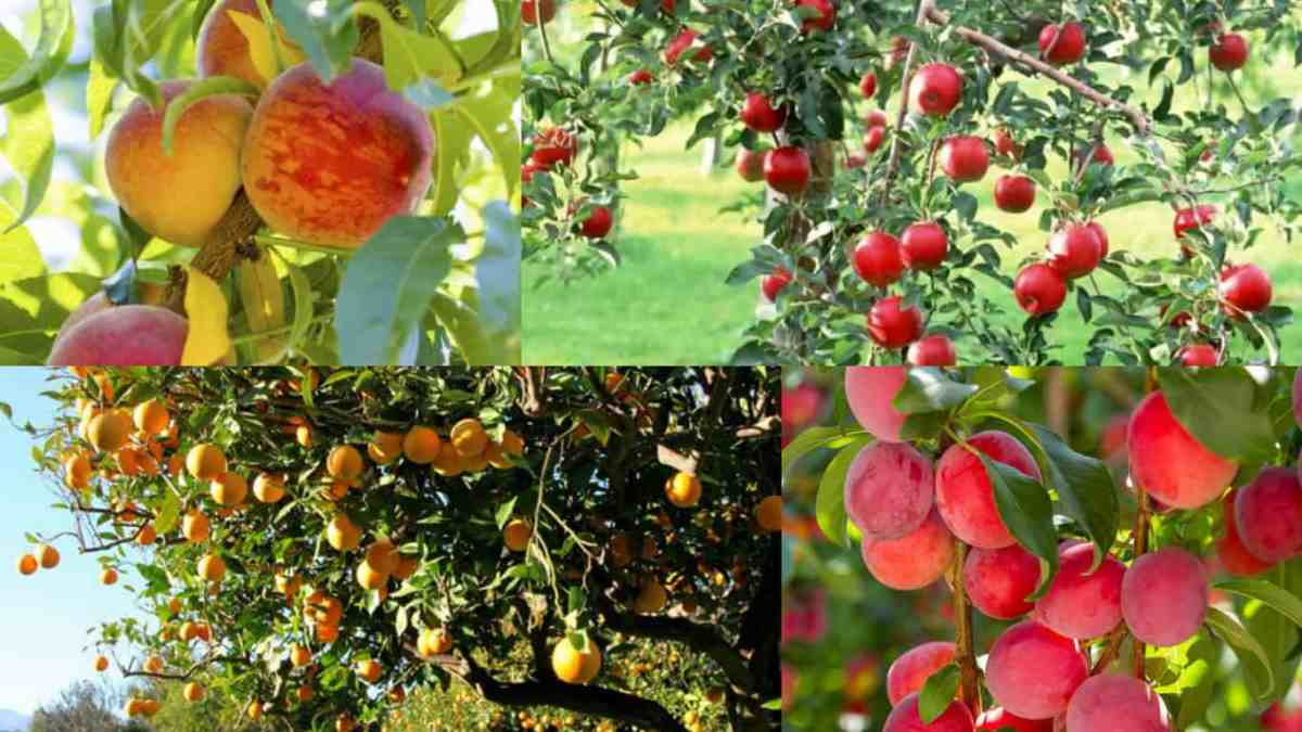 Alberi da frutto e fertilizzazione biologica come quando for Alberi da frutto