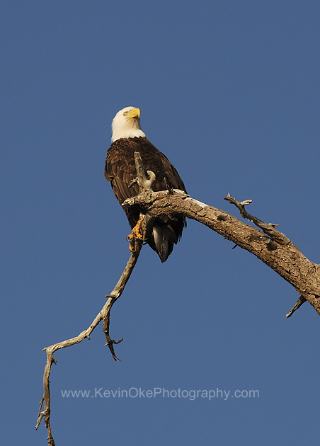 Bald eagle perched in a tree at Pilkey Point, Thetis Island, British Columbia, Canada