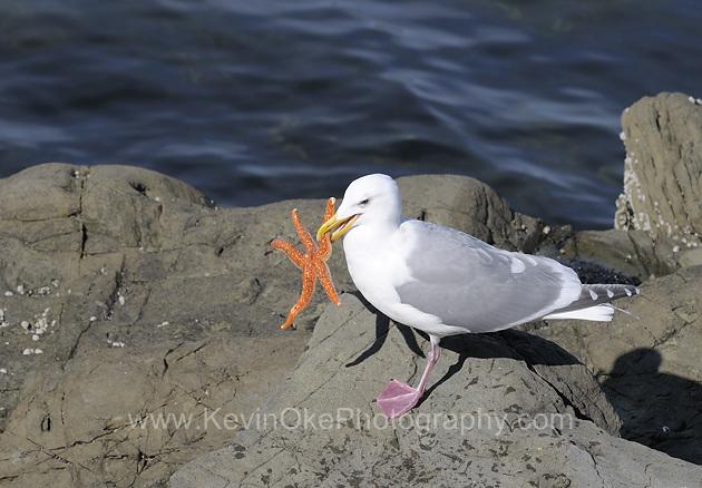 Gull, Gulf Islands, British Columbia, CanadaGull, Gulf Islands, British Columbia, Canada