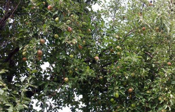 Downtown apple trees