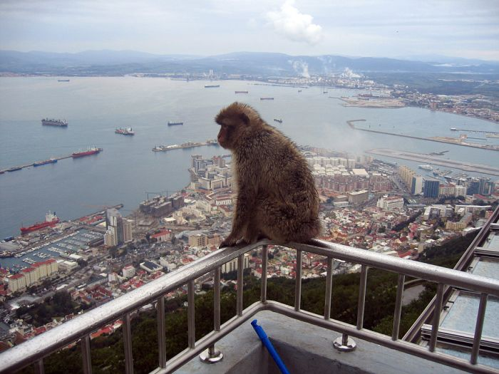 1024px-Gibraltar_Barbary_Macaques
