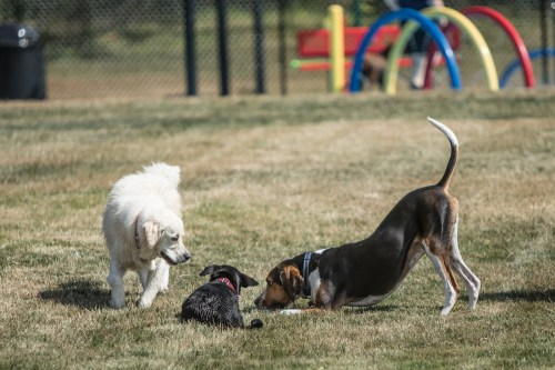 Medium Of Dog Play Bow