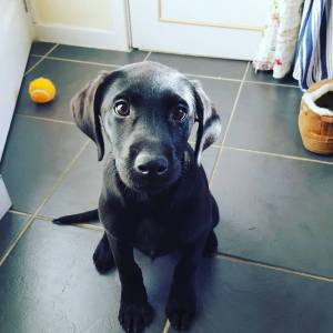 Black Labrador Newcastle