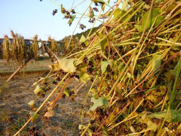 蕎麦 収穫