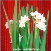 Growing Narcissus- Paperwhites