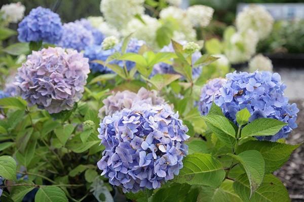 Hortensier er populære på grund af deres sene og lange blomstring.