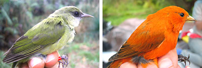 A small green bird and a bright orange bird