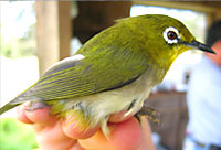 green bird with white ring around its eye