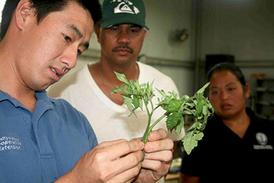 person looking at tomato plant