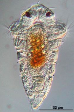 Larva of the marine tubeworm Hydroides elegans, a significant biofouling agent