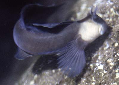 Zebra Blenny? | Saltwaterfish Forum