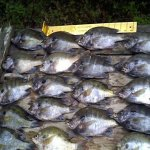 Okeechobee Bluegill Fishing