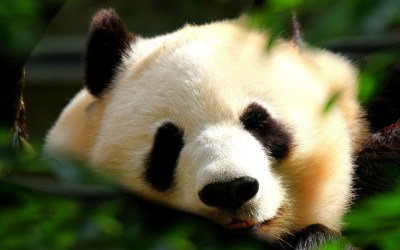 Panda Wallpapers, Pictures, Images