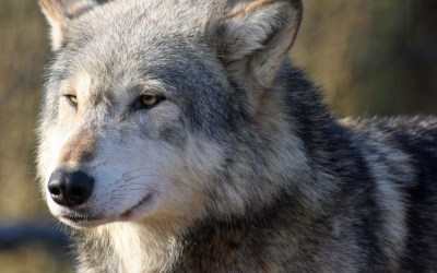 Wolf Wallpapers, Pictures, Images