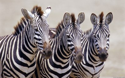 Zebra Wallpapers, Pictures, Images