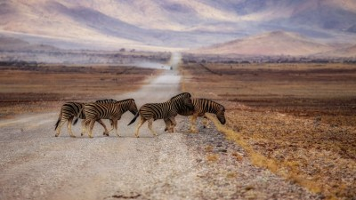 Zebra Wallpapers, Pictures, Images