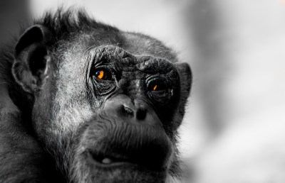 Monkey Wallpapers, Pictures, Images