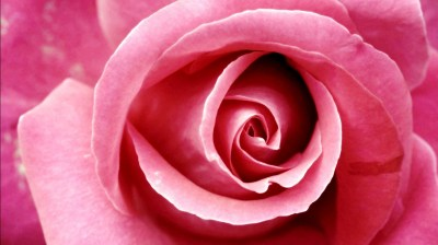 Beautiful Pink Rose Wallpapers | HD Wallpapers | ID #8678