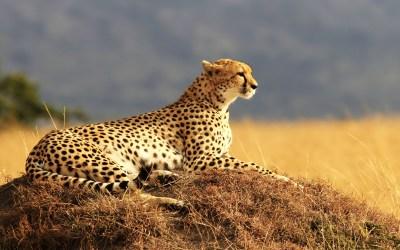 Cheetah 4K Wallpapers   HD Wallpapers   ID #18592