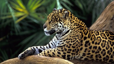 Jaguar in Amazon Rainforest Wallpapers | HD Wallpapers | ID #10763