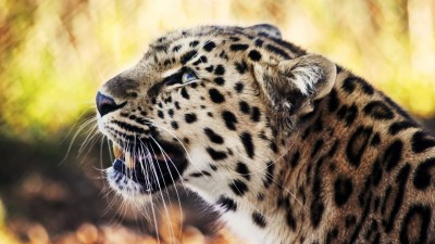 Leopard 1080p Wallpapers | HD Wallpapers | ID #8975