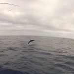 striped-marlin-jump-11