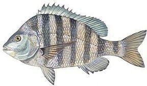 Isle of Palms Fishing trips :: Headshaker Inshore Fishing Charters