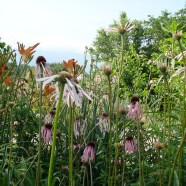 Echinacea and day lily: food and medicine