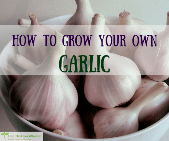 Growing garlic is easy, economical, and you get the most flavorful garlic (plus bonuses like scapes!) Click to read more or pin to save for later.