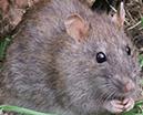 Rat Service Video