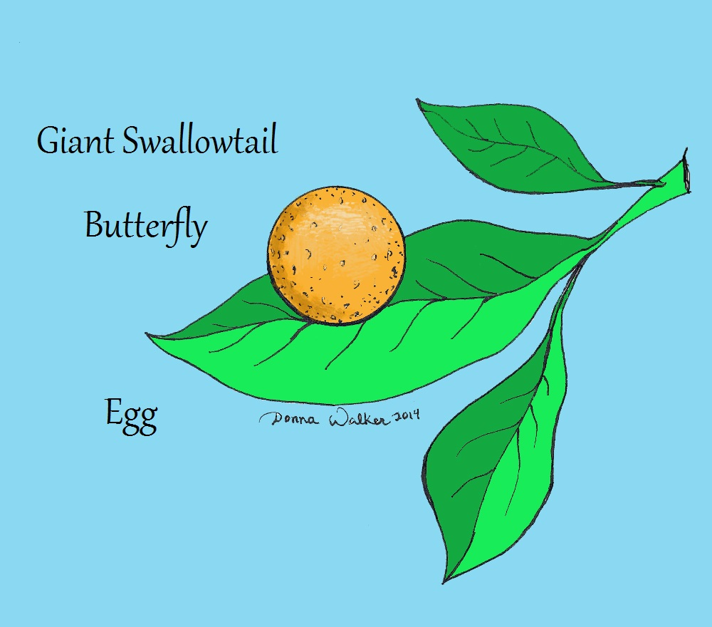 giant swallowtail butterfly coloring pages - photo#21