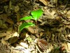 Oak Seedling found during docent walk