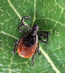 Western Black Legged Tick on leaf