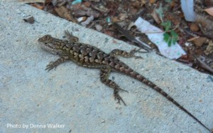 Western Fence Lizard - Human Benefactor