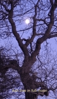 Ash tree and full moon for lightning