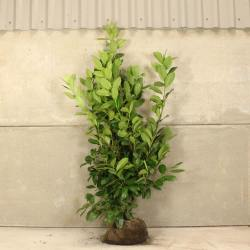 Small Of Cherry Laurel Tree